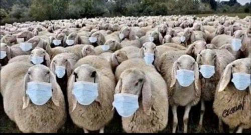 sheep_600x323