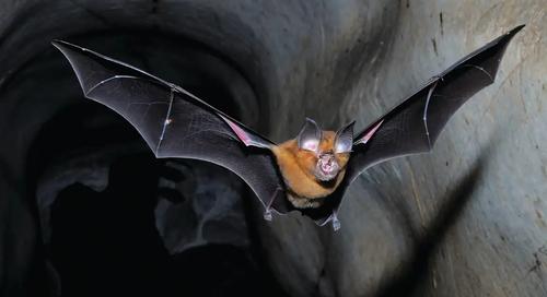 horseshoe-bat-flying-1_7